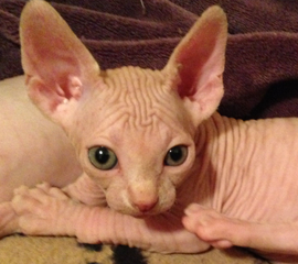 Adorable Red Female Sphynx Kitten