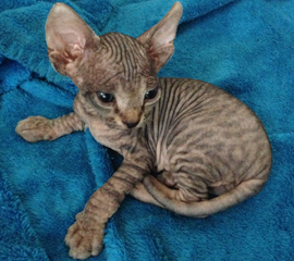 Black (Brown) Tabby Sphynx Kitten, Kittens for Sale
