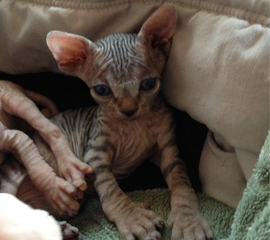 Adorable Black (Brown) Tabby Male Sphynx Kitten, Kittens for Sale