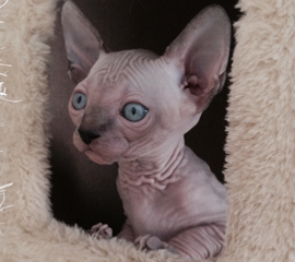 Sphynx Seal Point Kitten, Hairless Kittens, Kittens For Sale