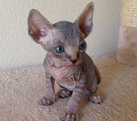 Black Tabby Male Sphynx Kitten