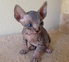 Sphinx Cats For Sale California