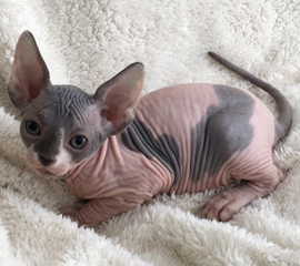 Adorable Male Bi-Color Sphynx Kitten