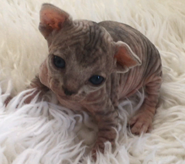 Darker Blue Tabby Sphynx Kitten