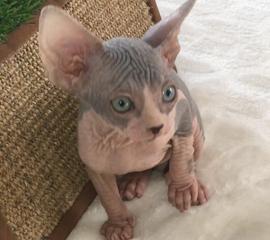 Available Hairless Kittens, sphynx kittens for sale, Sphynx