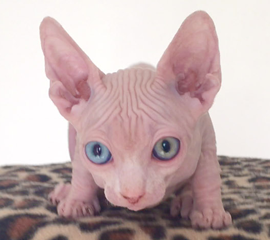 White Odd Eyed Male Sphynx Kitten