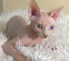 White Odd Eye Female Sphynx Kitten