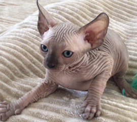 Seal Male Sphynx Kitten