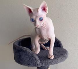 Odd Eyed Sphynx, sphynx kittens for sale, Sphynx kittens