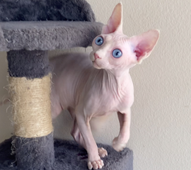 White Female Blue Eyes Sphynx Kitten