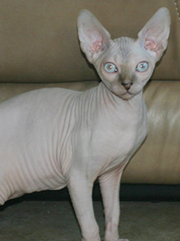 Adorable Female Sphynx Kitten Ready To Go