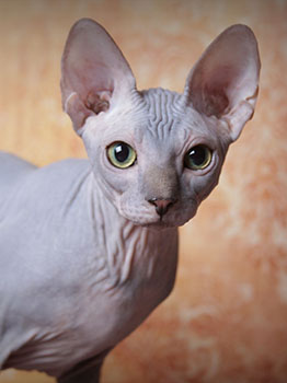 Adorable Sphynx Kitten ready to go