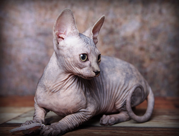 Sphynx Cat Appropriate for Sale San Diego
