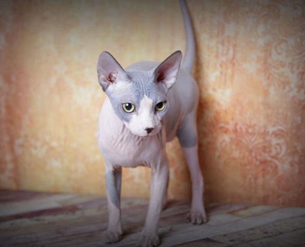 Sphynx Kittens, Hairless Cat Adoption, Odd Eyed Sphynx   San Diego, CA