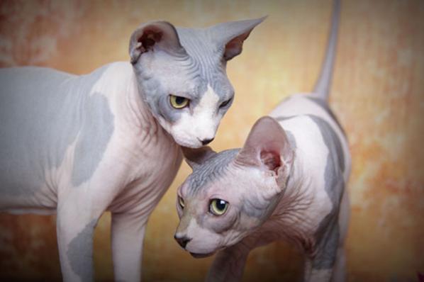 Sphynx Cat For Sale San Diego