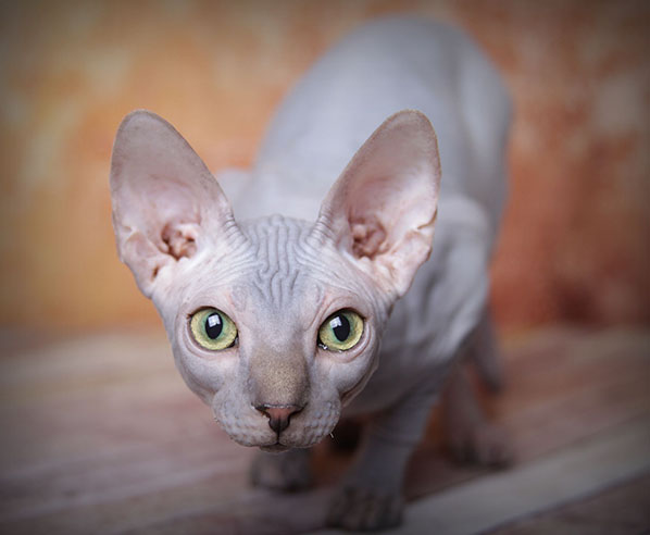 Sphynx Kittens, Hairless Cat Adoption, Odd Eyed Sphynx | San